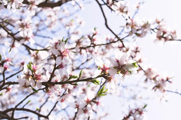 青い空を背景に晴れた日に開花アプリコットの枝のビュー。植物の概念、風景、背景。