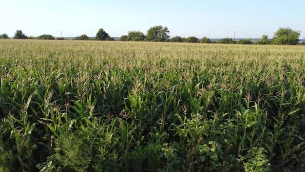 녹색 옥수수 밭의 보기입니다.