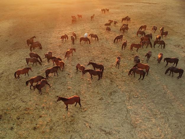 Вид на стадо коричневых лошадей
