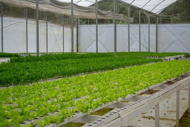 水耕栽培の緑の野菜農場の眺め。