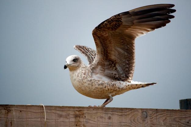 開いた翼を持つ若い黄色脚のガールの眺め。