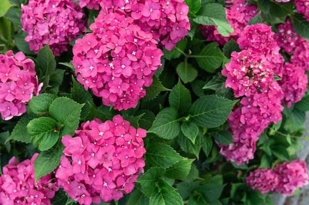 ピンクのアジサイの緑豊かな茂みの眺め。植物の概念、自然。