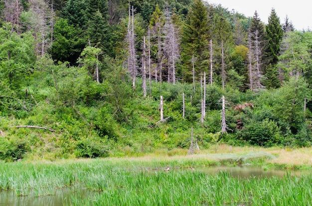 森の中の乾燥したトウヒと湖の夏の日の混合林の眺め