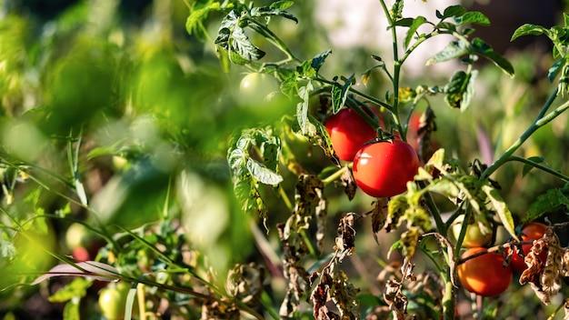 토마토 부시의 보기