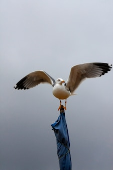 大きく開いた翼のついた旗の上に黄色の脚を持つガルの眺め。