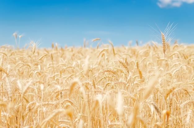 収穫の準備ができている穀物と農地のビュー