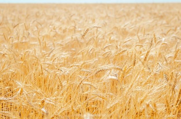 Вид на сельскохозяйственное поле с зерном, готовым к сбору урожая