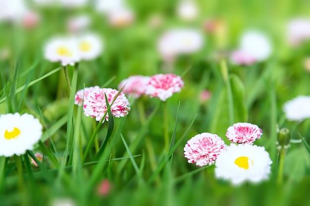 Вид ромашки цветы белые и розовые в траве