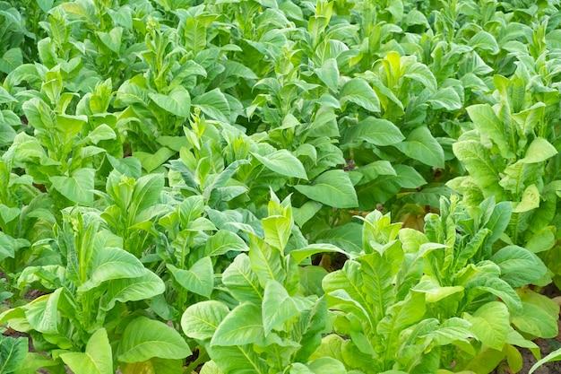 タイ、チェンライの畑にある緑のタバコ農園の様子。アジアのタバコ農園。