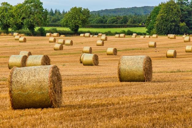 Вид стогов сена. сельское хозяйство. поле после сбора урожая с валками сена.