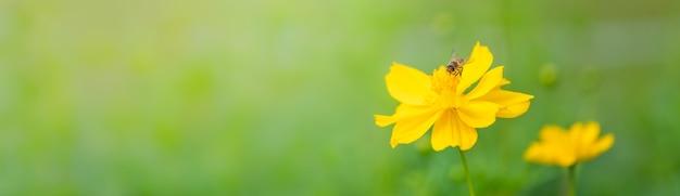 배경 자연 식물 곤충으로 사용하는 복사 공간 햇빛 아래 흐린 녹색 자연 배경에 노란색 코스모스 꽃과 꿀벌의보기