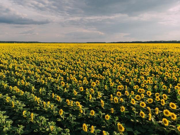 咲くひまわりの広大なフィールドの眺め、ドローンショット