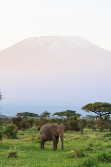 Вид на гору килиманджаро со слоном Premium Фотографии