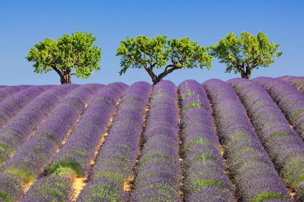 フランスのラベンダー畑の眺め
