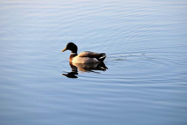 Вид утки на озере