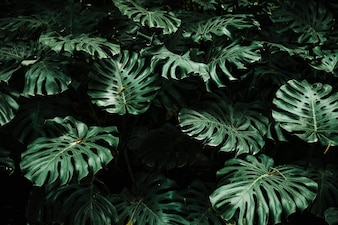 View of monstera leaves in forest