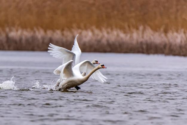 ミュートスワンまたはシグナスオロのビューは水に翼を取る