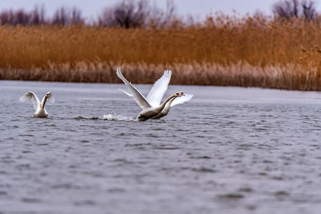 Вид на лебедя-шипуна или cygnus olor взлетает над водой