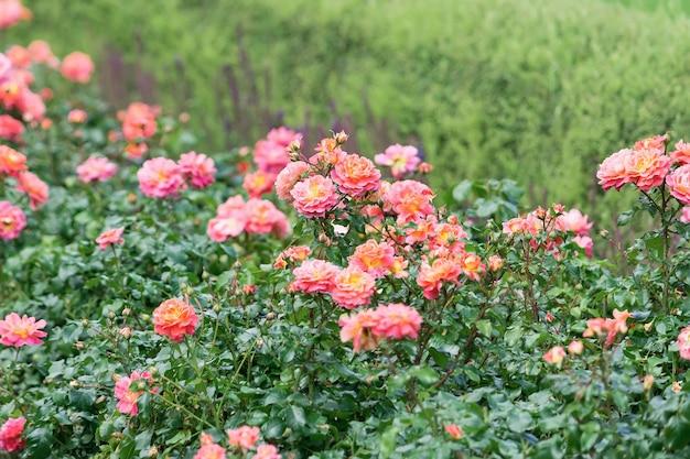 단단한 벽에서 자라는 주황색과 분홍색 스프레이 장미의 전망.