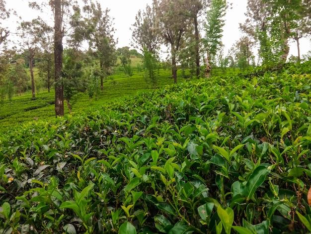 スリランカの茶畑の様子。お茶の栽培。