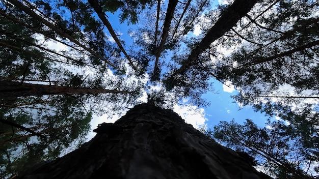 青い空を覆う松の木の冠の眺め