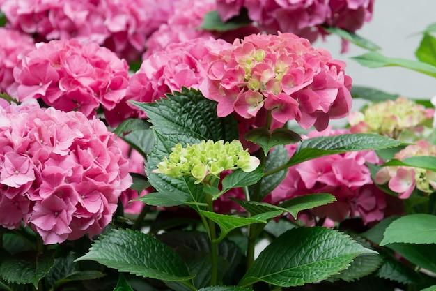 ピンクのアジサイの開花茂みの眺め。