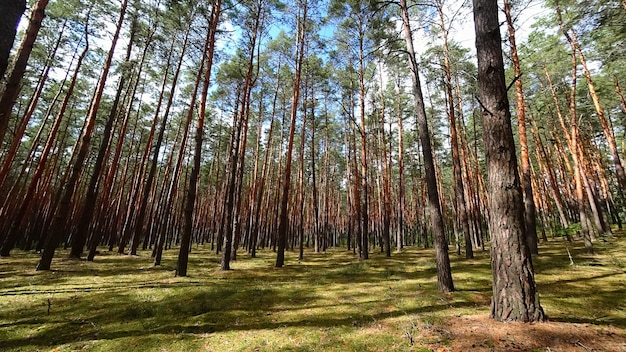 足元に苔が生えている松林の様子