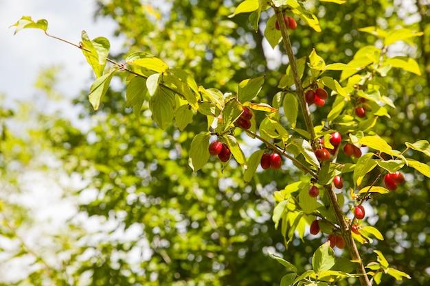 枝にハナミズキの赤い果実のビュー