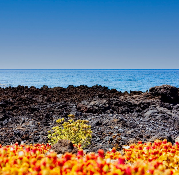 Вид на живописные полевые цветы, растущие в лавовой скале рядом с морем, линоза. сицилия