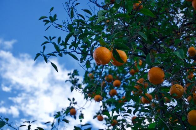 하늘과 오렌지 나무의 전망