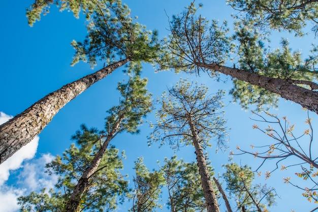冬の森の松の木のてっぺんを地面から見たところ。底面図広角背景。