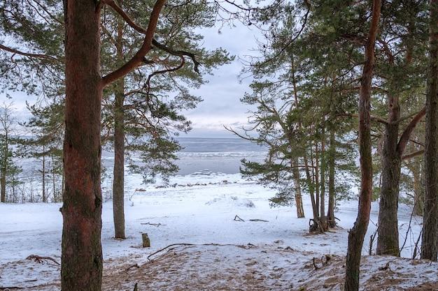 Вид на зимнее балтийское море через еловый лес.