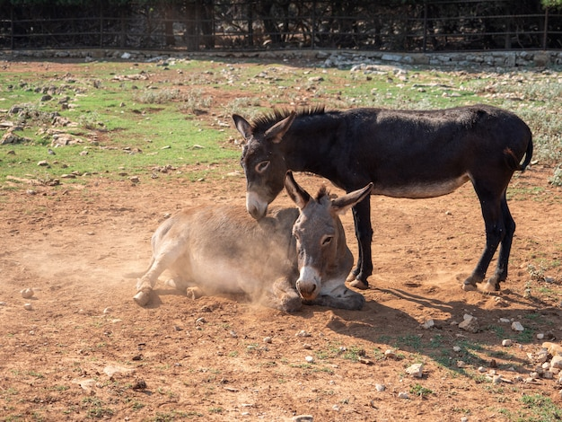乾燥した汚れた地面のある農場の2頭のポニーの眺め