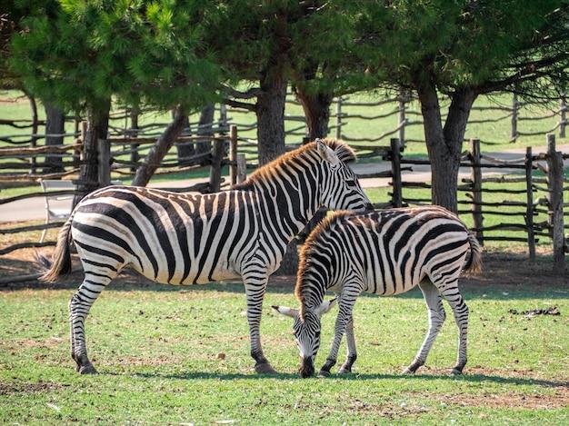 表面に木製の柵がある動物園の2つのシマウマのビュー