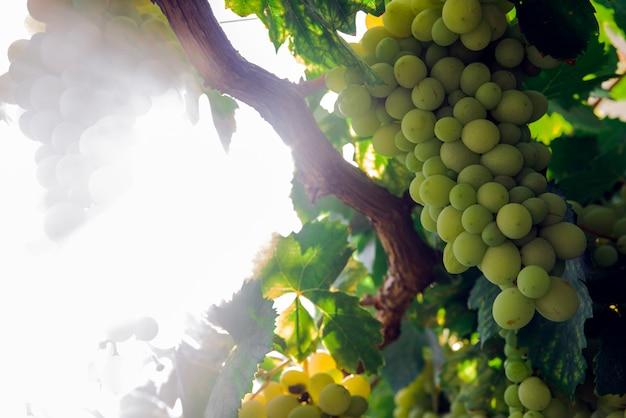 잘 익은 화이트 와인 포도의 낱 단을 가진 포도 원 행의보기. 선택적 포커스와 텍스트를위한 공간이 멋진 사진.