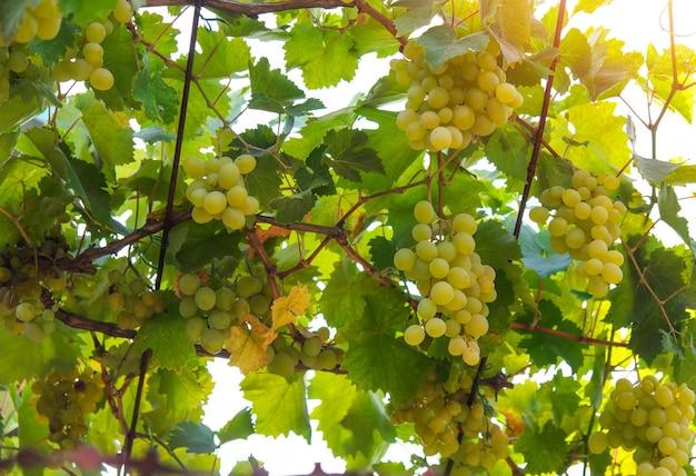 녹색 와인 포도의 움 큼와 포도밭의 전망. 수확기.