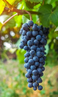 잘 익은 레드 와인 포도의 움 큼과 포도밭의 전망. 몰도바 공화국 포도 수확 시즌.