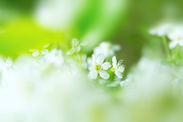 Вид белых цветов на зеленом фоне дерева вишни