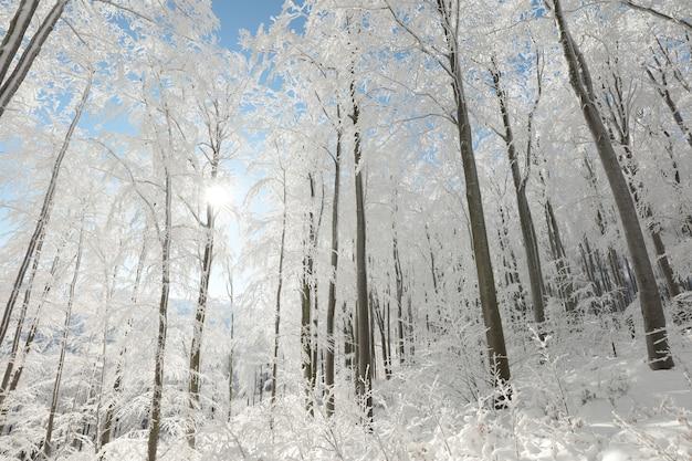 Вид на зимний буковый лес морозным, солнечным утром