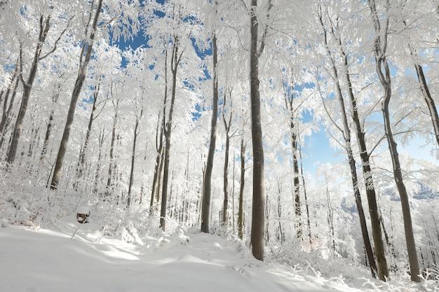 서리가 내린 맑은 아침에 겨울 너도밤 나무 숲의보기