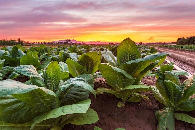 フィールドで若い緑のタバコ工場の眺め