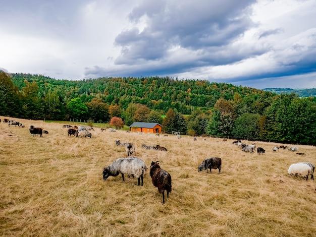 ポーランド、ローワーシレジアの羊のいる農場の様子。ズデーテン