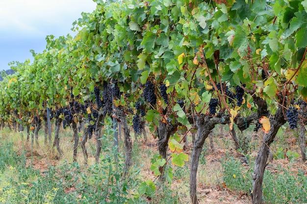 スペインの谷の1つのブドウ畑を表示します。