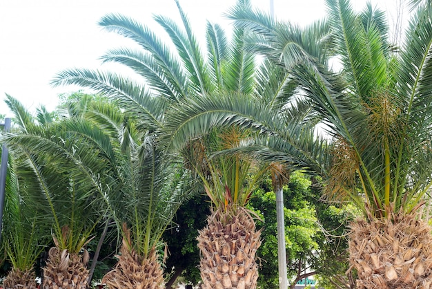 View of palm tree, stem and branches leaves in the street