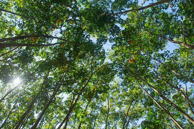 Under view of para rubber tree. rubber plantation