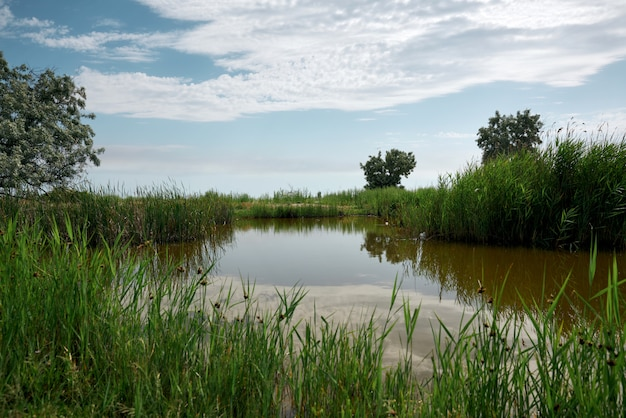 View of the pond with green reeds, summer day