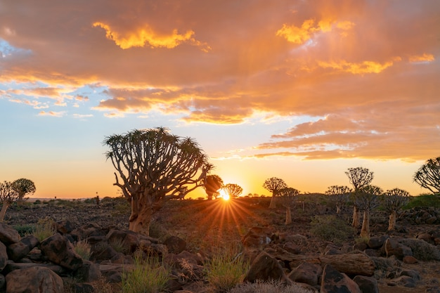 View of quiver trees forest with beautiful sky sunset twilight sky scene in keetmanshoop, namibia.
