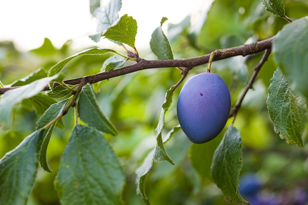 View of the ripe plums on the tree in the orchard