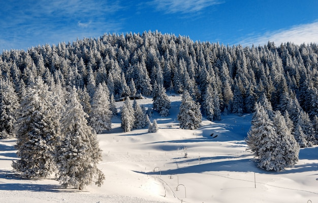 View of snow-covered fir trees in winter