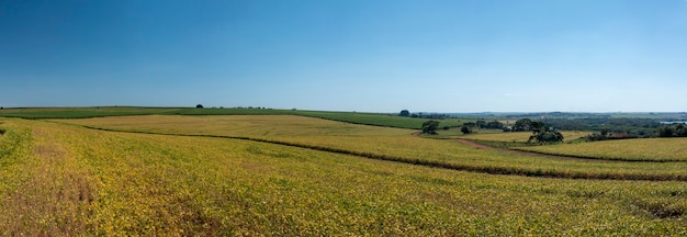 View of soybean plantation on a sunny day in brazil.